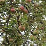 Almák a fán