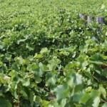 Tömött sorokban a szőlő