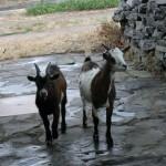 Az aranyos kecskék