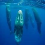 Alvó bálnák (Magnus Lundgren)