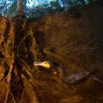 Duplatarajos kormorán a víz alatt (Dennis Vandermeersch)
