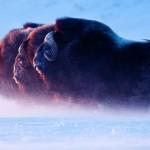 A Sarkkör urai - Három pézsmatulok a hóviharban, ÉNy-Alaszka (Florian Schulz)